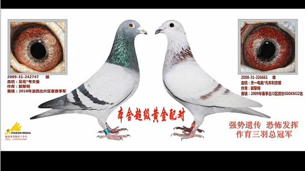 养鸽园地视频列表图片
